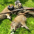 One shoot two boars