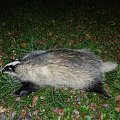 My second badger in 21 years.
