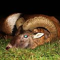 up to 4 year old Mouflon that I can exchange, free roaming, fair chase.