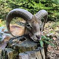 My the first mouflon