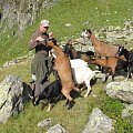 domestic goats in Alps
