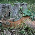 My roe buck from home hunting area - 10 years old! Unforgettable experience! LOVU ZDAR!